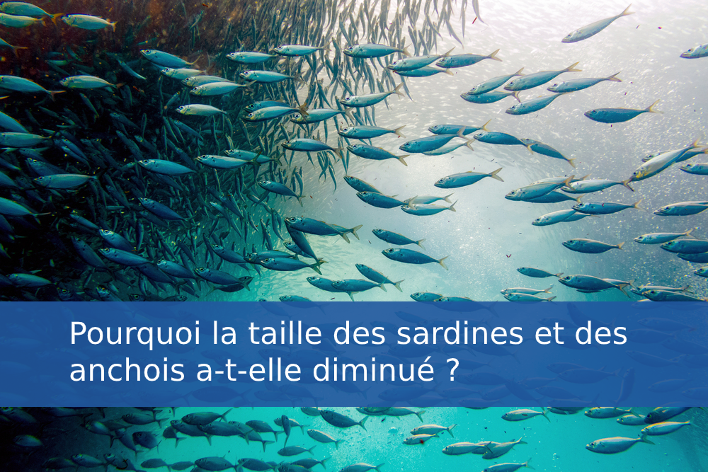 Pourquoi la taille des sardines et des anchois a-t-elle diminué ?